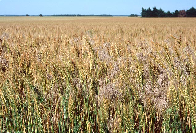 wheat and tares We come now to the thirteenth chapter of matthew i trust that you have your bible ready and your mind is open, your heart available to the lord because we have some marvelous, marvelous things that.