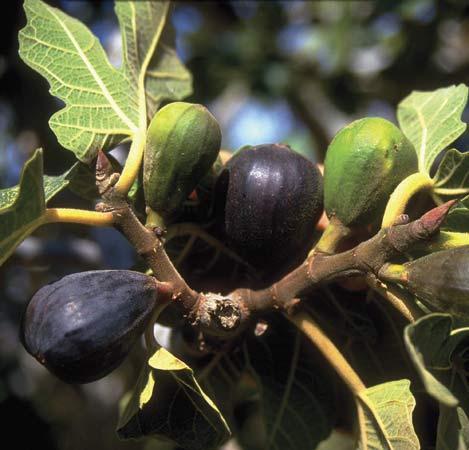 ficus carica fig tree fruit