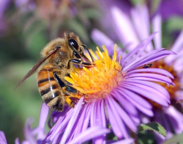 Honeybee is extracting nectar