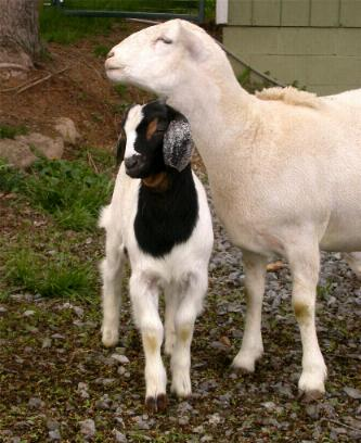 sheep-and-goat