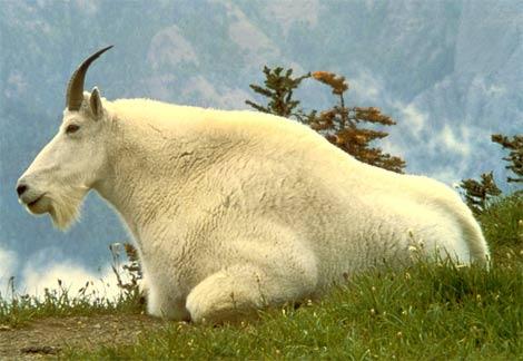 goat-male