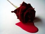 bleeding_rose_red