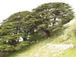 cedars of lebanon.jpg