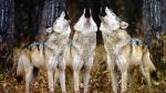 church_wolves.jpg