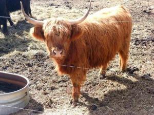 red heifer.jpg